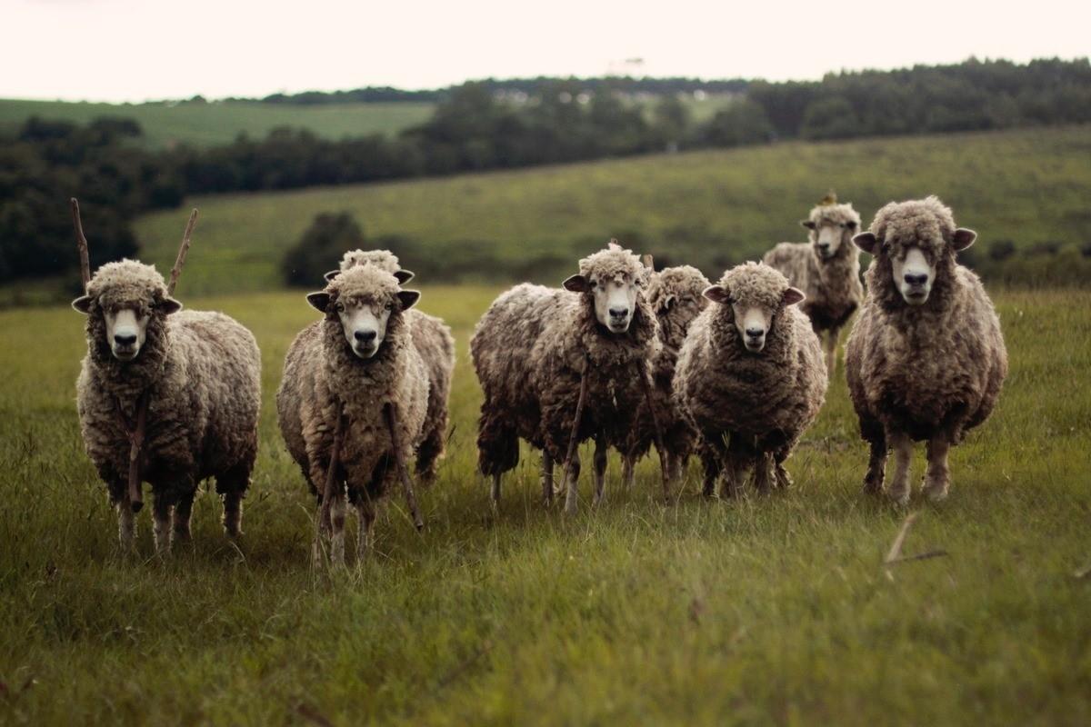Au ajuns cu oile până la CSJ. Doi bărbați nu au putut împărți ovinele și s-au acționat în instanță